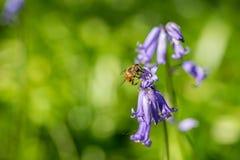 Polline mimico del nettare della raccolta dell'ape dalle campanule selvagge immagini stock