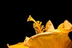 Polline rosa di cinese su fondo nero Fotografie Stock Libere da Diritti