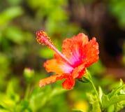 Polline rosso dell'ibisco Fotografia Stock