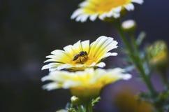 Pollinera biet på ett slut upp den vita gula isolerade blomman som söker för mat med grunt djup av fältet i, parkera royaltyfria bilder