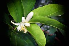 Pollinera en blomning för citronträd Royaltyfri Foto