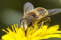 pollinera för biblomma Royaltyfri Fotografi