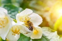 pollinera för biblomma Royaltyfri Bild