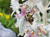 Pollinera för humla arkivbild