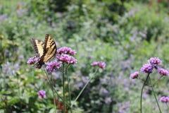 Pollinera fjärilen Royaltyfria Foton