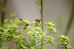 Pollinera persilja Royaltyfri Foto