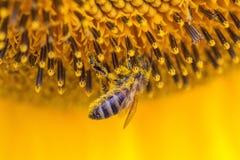 pollinera solros för bi Royaltyfria Bilder