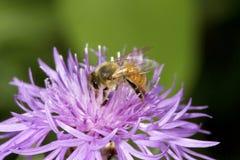 Pollinisateur occidental d'abeille de miel forageant sur une fleur de bergamote image libre de droits