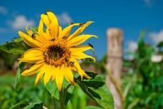 Pollinisation Photographie stock libre de droits