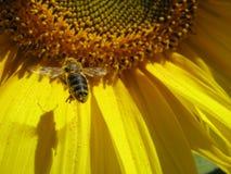 Pollinisation Images libres de droits