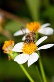 Pollinisation d'abeille Image libre de droits