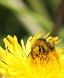 Pollinisation d'abeille Photo stock