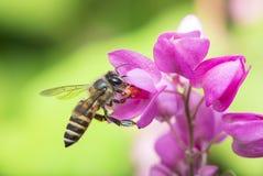 Pollinisation d'abeille photographie stock libre de droits