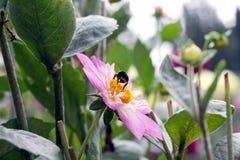 Pollinisation d'un dahlia rose Photos libres de droits