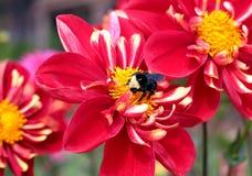Pollinisation d'un dahlia rouge Photos stock
