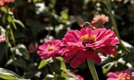 Pollinisation d'un insecte de fleur photo stock