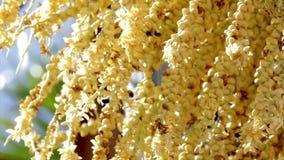 Pollinisation de palmier d'abeilles Images stock