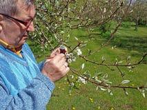 Pollinisation de poirier image stock