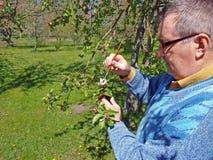 Pollinisation de pommier photo libre de droits