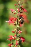 Pollinisation de sauge du Texas   images stock