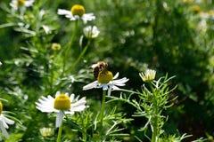 Pollinisez des herbes photos stock