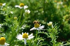 Pollinisez des herbes photographie stock libre de droits