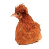 Imagen de gallo grande gratis
