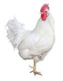 Pollo Imagen de archivo