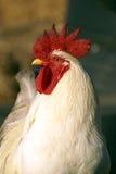 Pollo Foto de archivo libre de regalías