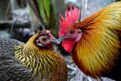 pollo Immagine Stock Libera da Diritti