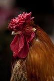 Pollo Fotografía de archivo libre de regalías