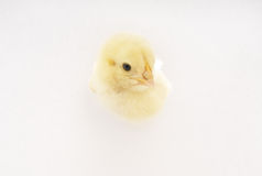 pollo Fotografia Stock