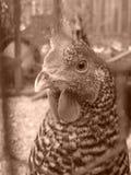 pollo Fotografie Stock Libere da Diritti