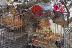 Pollo Fotos de archivo