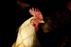 Pollo Imagen de archivo libre de regalías