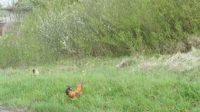 Pollo Foto de archivo