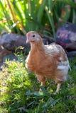 Pollo agradable en jardín de flores Fotos de archivo libres de regalías