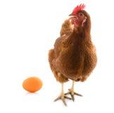 Pollo aislado con el huevo imagen de archivo