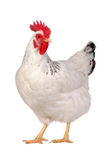 Pollo aislado en blanco. Foto de archivo