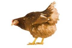 Pollo aislado en un fondo blanco Fotografía de archivo libre de regalías