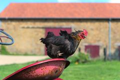Pollo all'azienda agricola Fotografie Stock