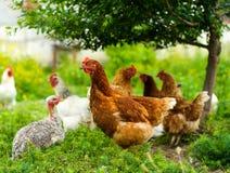 Pollo all'azienda agricola Fotografie Stock