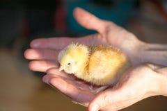 Pollo amarillo de la incubación en las palmas femeninas Se empaña el fondo fotografía de archivo libre de regalías