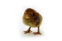 Pollo anaranjado Imágenes de archivo libres de regalías
