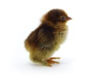 Pollo anaranjado Fotos de archivo libres de regalías