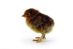 Pollo anaranjado Fotografía de archivo libre de regalías