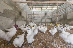 Pollo in azienda agricola Fotografie Stock Libere da Diritti