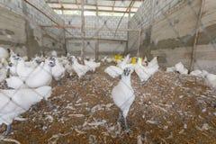 Pollo in azienda agricola Immagini Stock Libere da Diritti