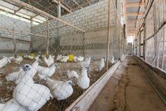Pollo in azienda agricola Fotografia Stock