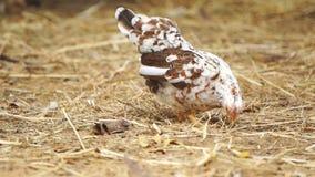 Pollo in azienda agricola stock footage
